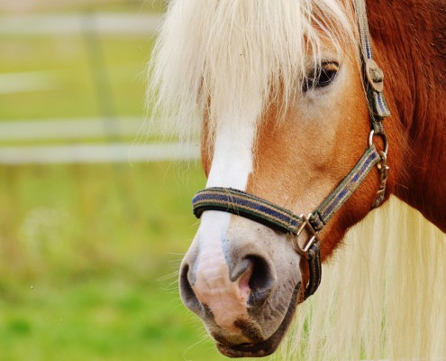 horse-1016468_1280